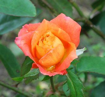 アンネのバラ1011
