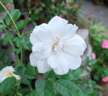 黒田白いバラ