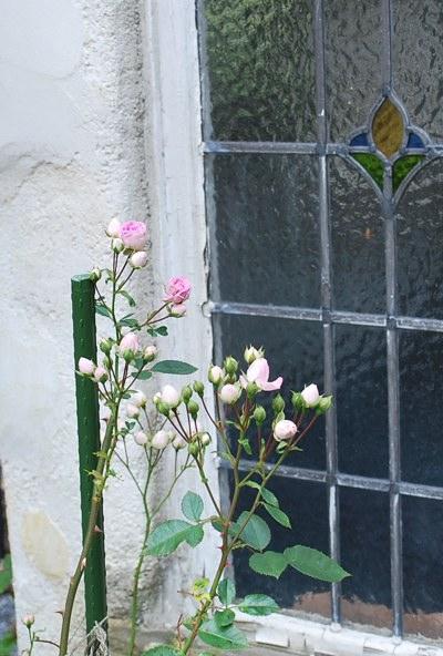 美山ほらかわいいバラ