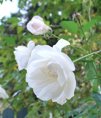 美山白バラ