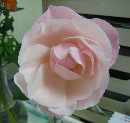ピンク薔薇1114