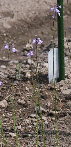 公園紫の花