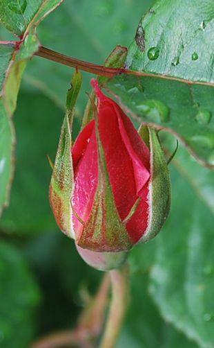 赤い薔薇 230523