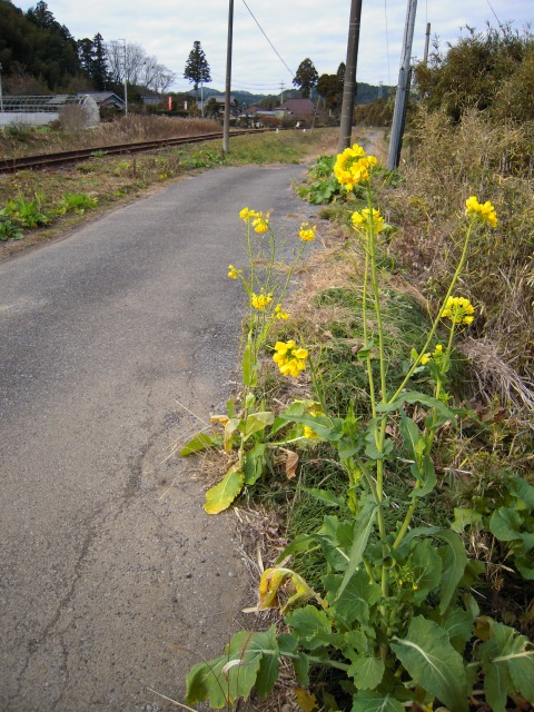 小谷松駅付近の菜の花(2010.01.04)