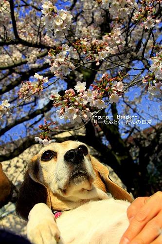 りりぃと桜