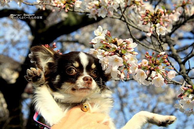 くぅ太と桜
