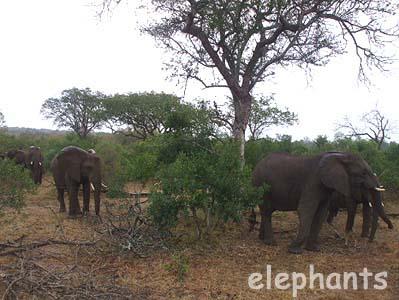 たくさんの象たち