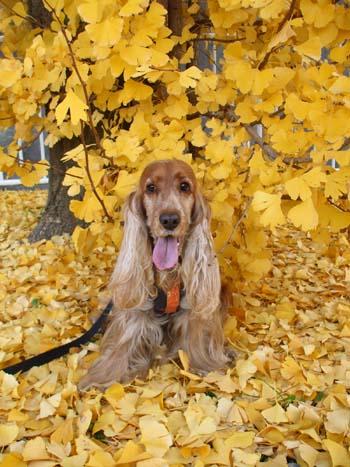 秋といえばやっぱりイチョウ!