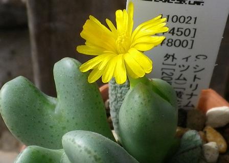 シンシリアナムconophytum