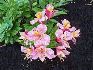 アルストロメリア ピンク