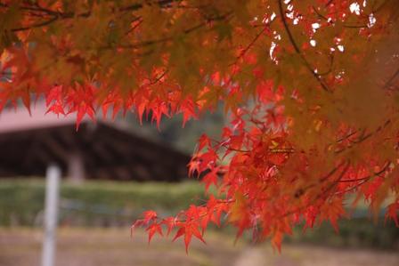 紅葉 バラ1