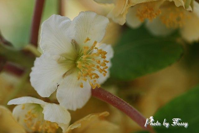 キーウイの花 ♂
