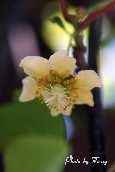 キーウイの花1