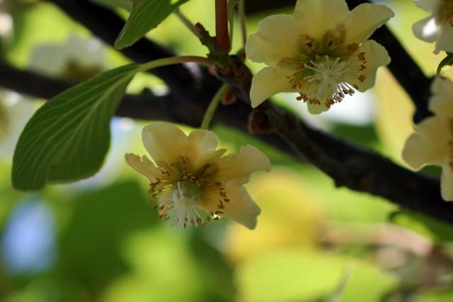 キーウイの花2