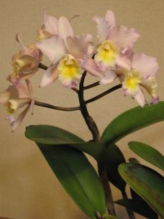 ミニカトレア(桃×黄)の花