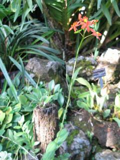 エピデンドラム(京都府立植物園)
