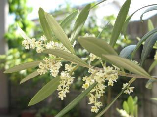 オリーブ'ネバディロ・ブロンコ'の花