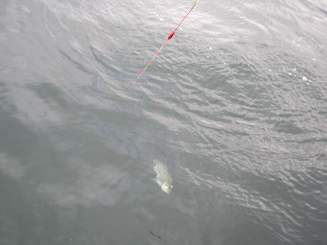 銀色のすばらしいお魚(*^_^*)