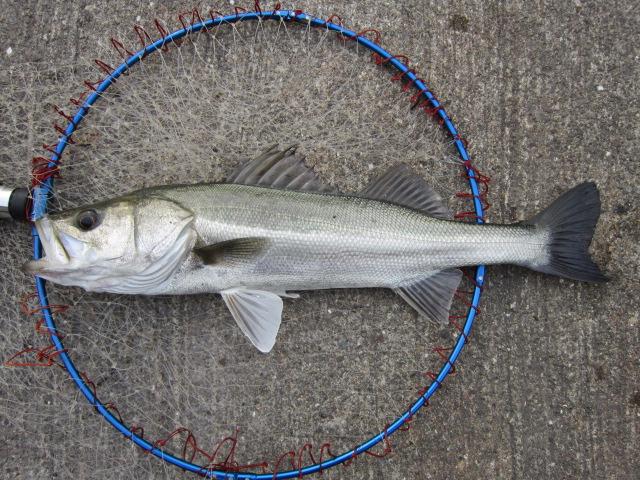 繁殖活動が終わって、ほっそりとしておりますが、美しい魚体でございます(*^_^*)