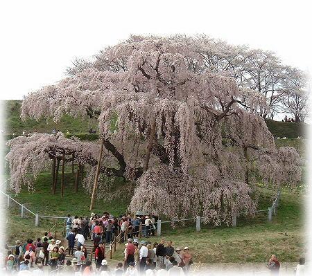 2三春の滝桜