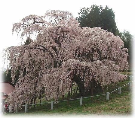 4三春の滝桜
