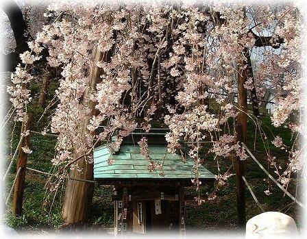 6三春の滝桜