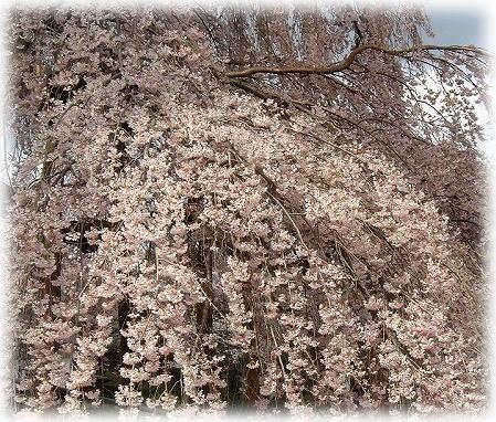5三春の滝桜