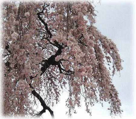8三春の滝桜