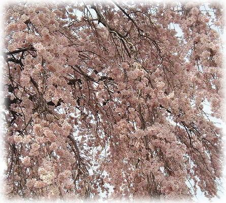 7三春の滝桜