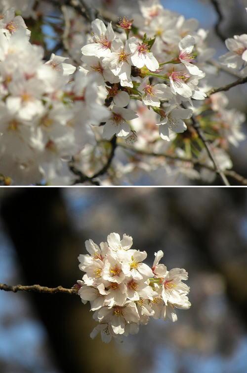 7満開の桜
