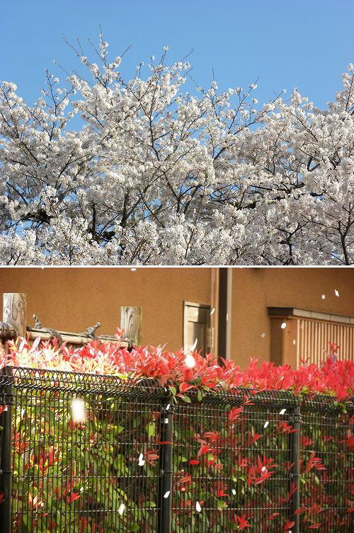 10桜吹雪