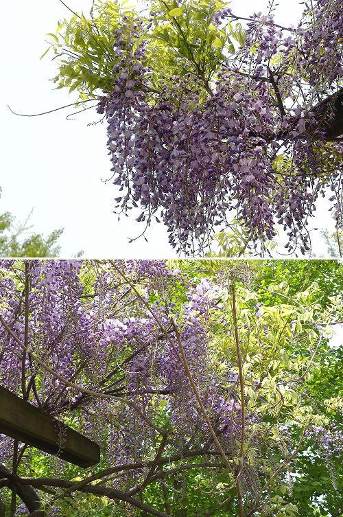26藤の花