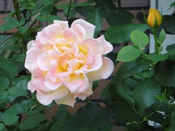 ROSE1106121.jpg