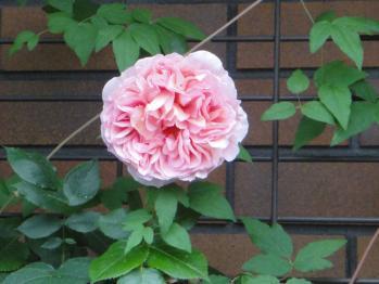 ROSE1106123.jpg