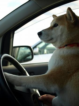 運転上手のさくらです!