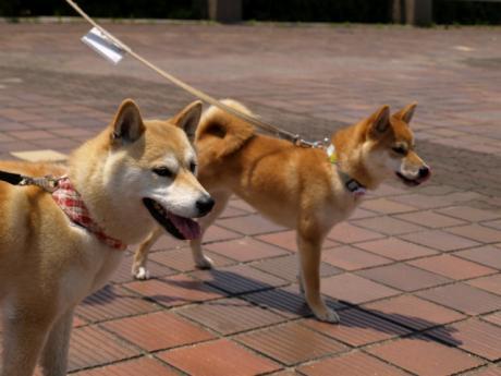 コロちゃん&さくら 姉妹犬です!