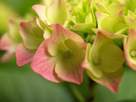 我が家の紫陽花♪