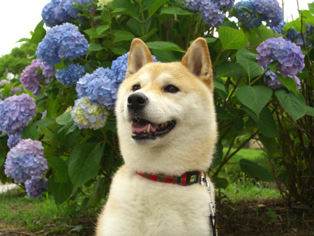 さくらと紫陽花!
