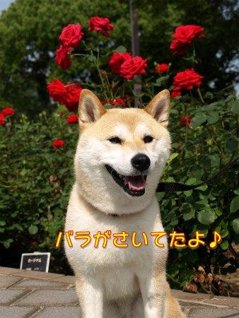 バラのさくら