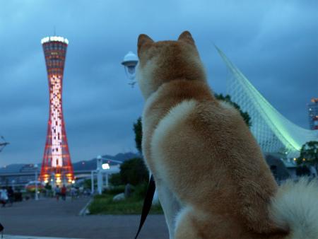 夜景を見る柴犬