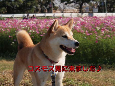 コスモス鑑賞
