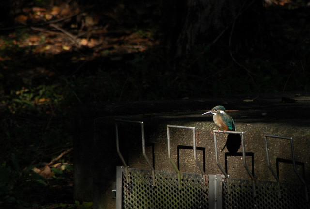 071020kingfisher0001.jpg