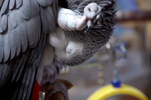 羽繕いするChloe