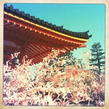 平安神宮 桜 縮