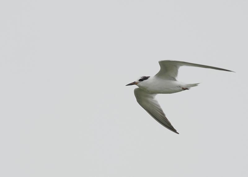 コアジサシ冬羽