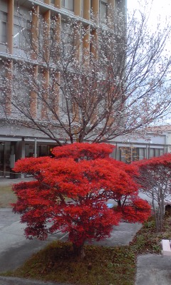 小彼岸桜とどうだん111201_1302~01
