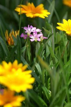 きいろの花に囲まれて