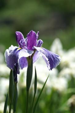 花菖蒲・・・紫