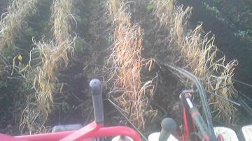 小豆刈り取り