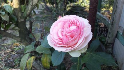 薔薇 ピエール・ドゥ・ ロンサール 2011春バラ満開